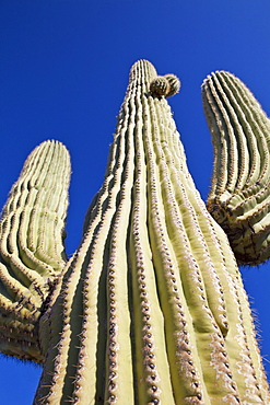USA, Arizona, Phoenix, low angle view of saguaro cactus, USA, Arizona, Phoenix