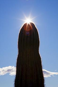 Silhouette of saguaro cactus