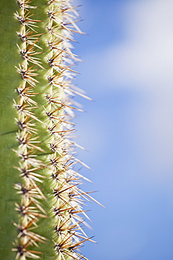Thorns on saguaro cactus