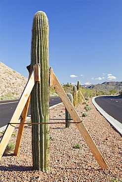 USA, Arizona, Fountain Hills, saguaro cactus supported by planks, USA, Arizona, Fountain Hills