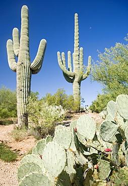 Assorted cactus in desert, Arizona, United States