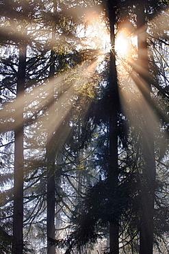 USA, Washington, Hockinson, sunbeam shining through trees, USA, Washington, Hockinson