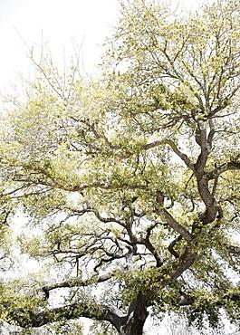 Oak tree with Spanish Moss, New Orleans, Louisiana, United States
