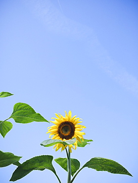 Sunflower against clear sky