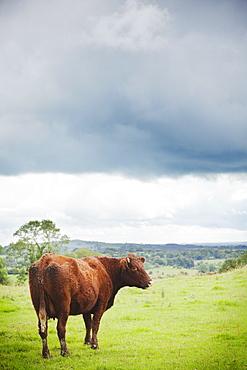 Ireland, County Westmeath, Cow on pasture