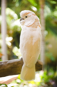 White parrot, USA, Hawaii, Kauai