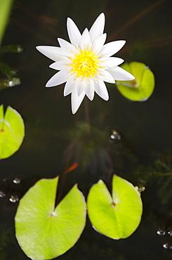Water lily, USA, Hawaii, Kauai