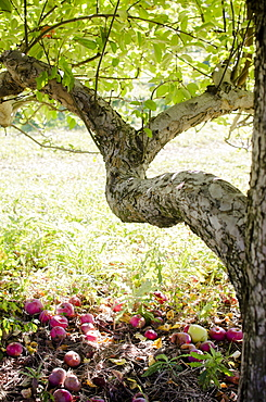 Apple tree, USA, New York State, Warwick