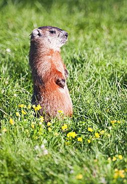 Prairie dog standing on his hind legs
