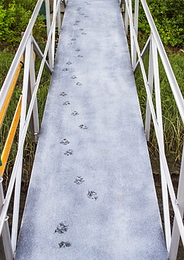 Pawprints on boardwalk, USA, New Hampshire, Portsmouth
