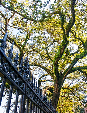Low angle view of tree behind old-fashioned fence, USA, Louisiana, New Orleans