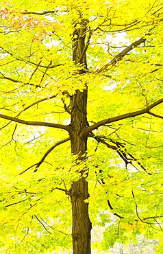 Sugar Maple tree in autumn, New Jersey, USA