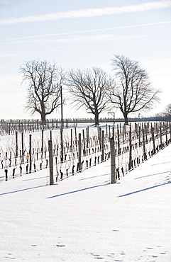 USA, New York, Cutchoge, snow-covered vineyard
