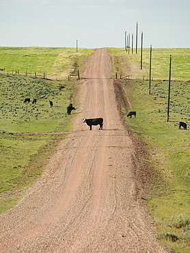 Cows on dirt road