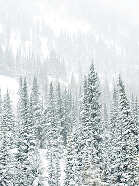 Snow covered trees on mountain, Wasatch Mountains, Utah, United States