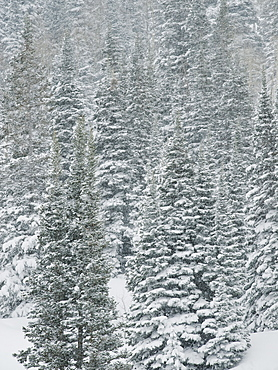 Snow covered trees, Wasatch Mountains, Utah, United States