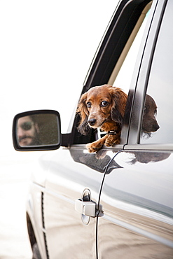 Curious dachshund travelling by car
