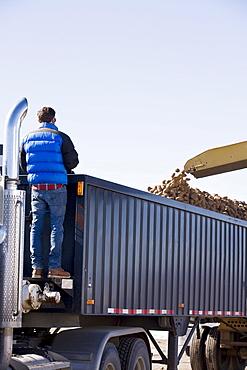Potato harvest, Colorado, USA