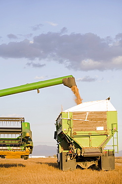 Combining grain, Colorado, USA