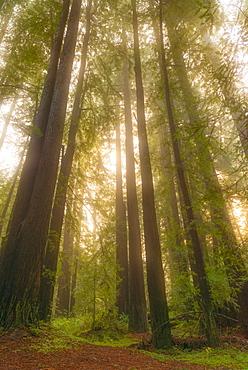 Redwood illuminated by sun, Northern California