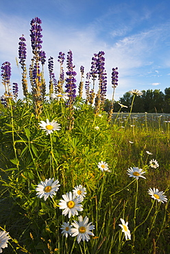 Daisies and Lupins growing on meadow, Marion County, Oregon