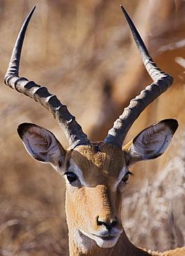 Close up of Impala