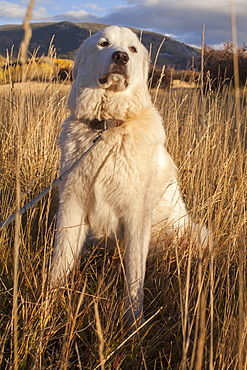 Portrait of dog in field, Colorado