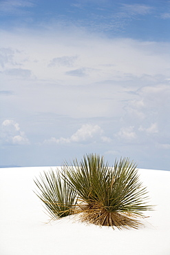 Plants growing in sand, White Sands National Monument, Alamogordo, New Mexico