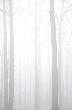 Forest in fog, New Jersey, USA