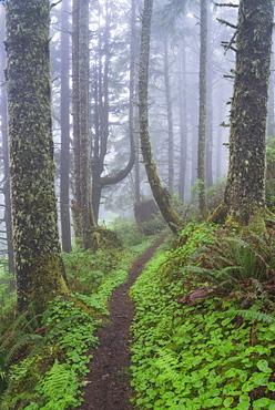 Footpath in foggy forest, USA, Oregon, Cascade Head