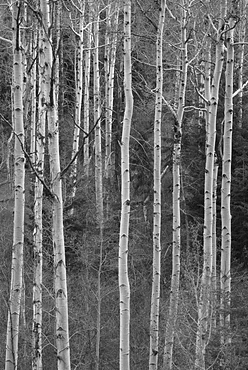View of birch tree forest, USA, Utah, Unitas National Forest