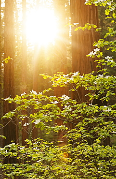 Forrest on sunny day, USA, California, Sequoia National Park