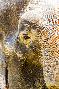 Close up of Indian elephant looking at camera
