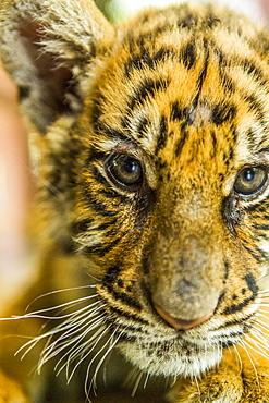 Tiger cub looking at camera