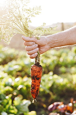 Hand of man holding carrot in vegetable garden