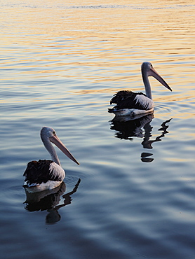 Pelicans on sea at sunset