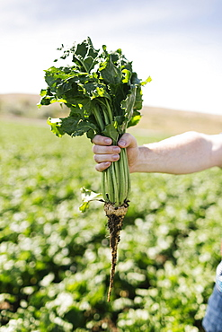 Man's hand holding vegetable crop in field