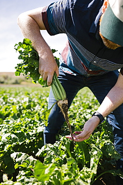 Man harvesting vegetable in crop field