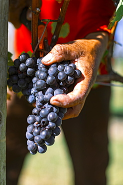 Man's hand holding grapes in vineyard