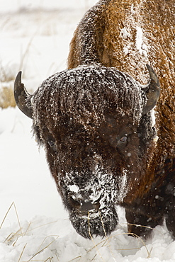 Snow covered buffalo