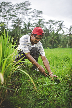 Farm worker using scythe in Bali, Indonesia