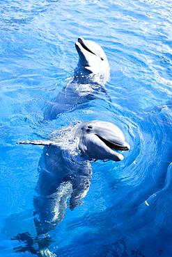 Dolphins in water at Miami Seaquarium in Miami, Florida, United States of America