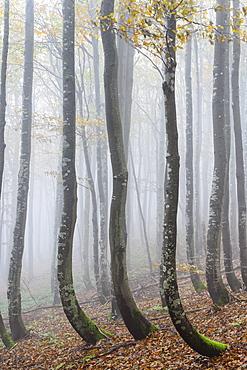 Ukraine, Zakarpattia region, Carpathians, Forest, Borzhava, Autumn forest in morning mist