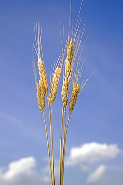 Closeup of wheat