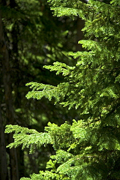 Sunlight on evergreen branches
