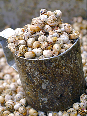Edible snails in bucket for sale