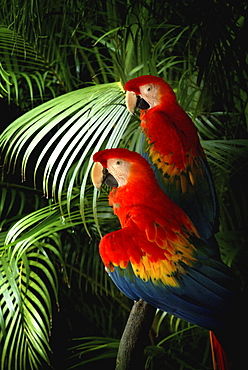 USA, Two parrots perching on palm leaf