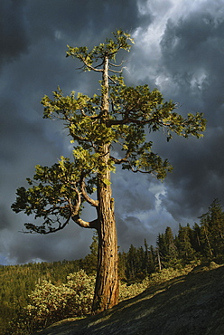 USA, Arizona, Sedona, Juniper tree against storm clouds