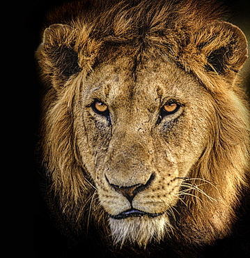 Africa, Tanzania, Head of male African Lion (Panthera Leo)