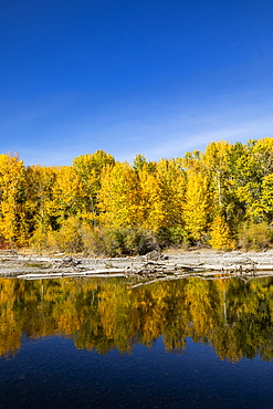 USA, Idaho, Sun Valley, Yellow autumn trees in forest reflecting in river